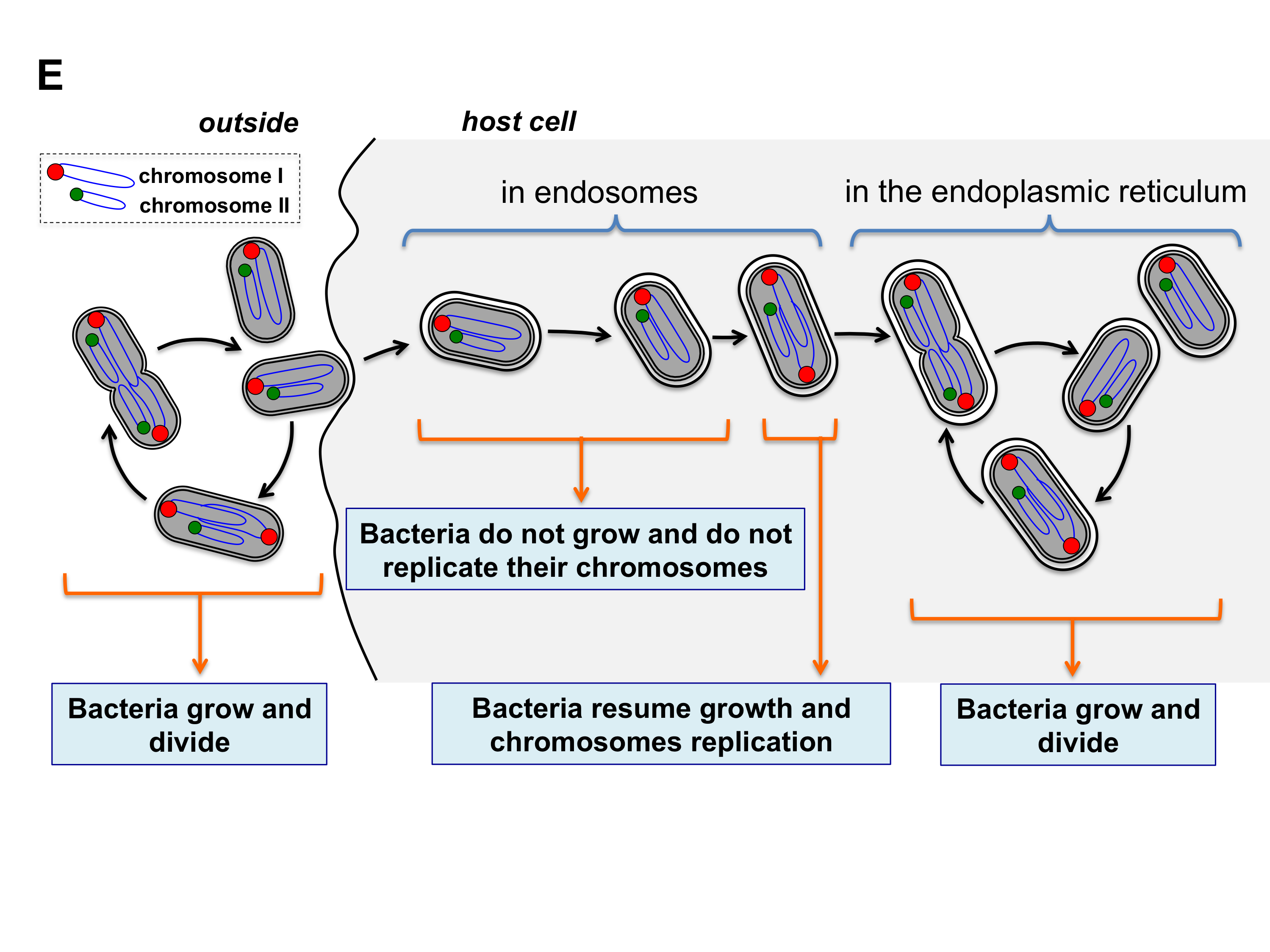 Cell cycle of brucella abortus urbm cell cycle of brucella abortus ccuart Choice Image